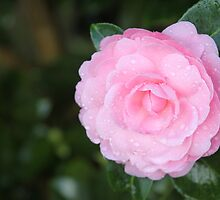 Pink by Cathie Tranent