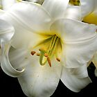 Easter Lily by Rewards4life