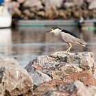 Black-crowned Night Heron by Sean McConnery
