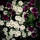 Petunias by Rewards4life