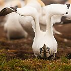Northern Gannet by Sean McConnery