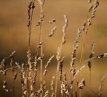 Golden Grasses by Luke Griffin