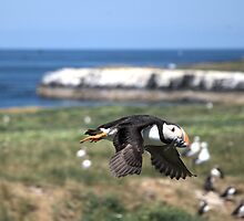 Fratercula arctica (Atlantic puffin) by Lindamell
