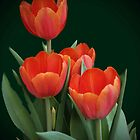 4 tulips by haggy