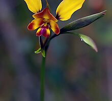 Wallflower Donkey Orchid by Cheryl Ribeiro