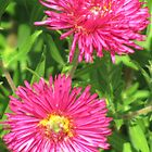 Asters in Hot Pink by WienArtist