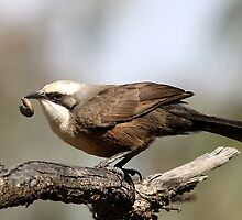 Grey-crowned Babbler by EnviroKey