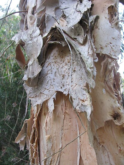 paper bark tree by Jeannine de Wet