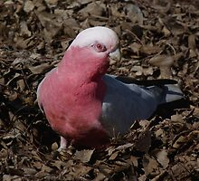 Galah Fossicking for Acorns - Beulah Park, Adelaide by Adam Jan Dutkiewicz