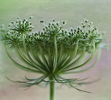 Queen Anne Lace by inkedsandra