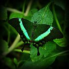 Emerald Swallowtail by Sandy Keeton