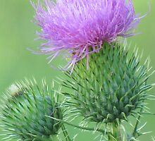 Thistle Softness by lorilee