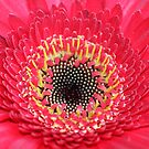 The Heart of a Gerbera by Terri~Lynn Bealle