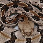 Ready To Strike,  Tember Rattle Snake! by NatureGreeting Cards ccwri