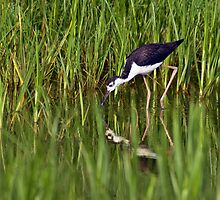 Black-Necked Stilt Foraging by Michael Mill