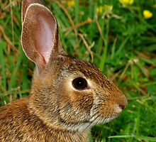 A Profile of an Eastern Cottontail by Robert Miesner