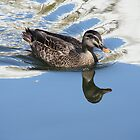 duck reflection by footsiephoto