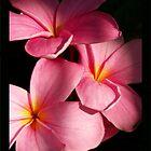 Candy Pink Frangipani by jono johnson