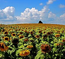 Sunflower Fields in Michigan by John Carpenter