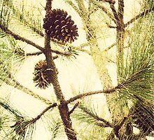 Image of pine cone on Long Leaf Pine tree, North Carolina by Jennifer Westmoreland
