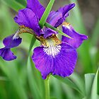Beautiful Iris by anchorsofhope