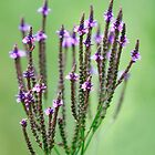 Wild Flowers by RPAspey