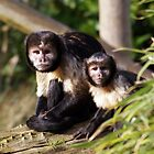 Capuchin Monkeys looking out by Cat Brady
