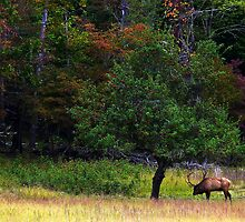 Bulk elk in the Cataloochee apple grove by Smokymountain