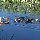 Mallard Hen with Ducklings by Kimberly Chadwick