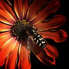 hover fly on flower by awjay