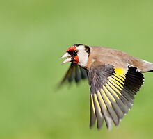 Goldfinch in flight by M.S. Photography/Art