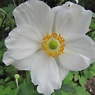 Anemone in white by orko