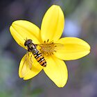 Hornet resting on a yellow flower  by rosie320d