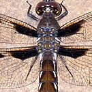 Dragonfly I by Cameron Hampton