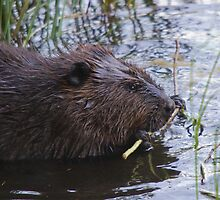 Morning Snack - Beaver, Gatineau Park, Quebec by Stephen Stephen