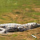 fresh water crocodile, windjana gorge by nicole makarenco