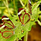 FOUR GLASSWINGED BUTTERFLIES ON A LEAF by Johan  Nijenhuis