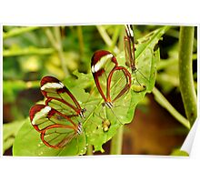 FOUR GLASSWINGED BUTTERFLIES ON A LEAF Poster