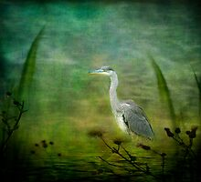 Grey Heron by hampshirelady