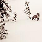 Colorado Fox by robyngourley