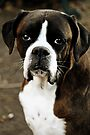 Arwen's Portrait -Boxer Dogs Series- by Evita