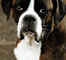 Boxer Dogs Series  by Evita