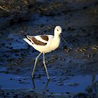 Simple Shorebird the American Avocet by DARRIN ALDRIDGE