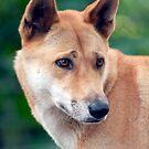 Dingo by Jenny Dean