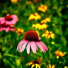 Coneflower Takes Center Stage by vicjauron