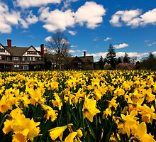 Daffodils at Bayard Cutting Arboretum by vicjauron