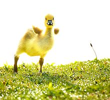Crazy Little Gosling by vicjauron