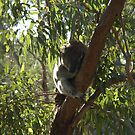 Sleeping Koala by Chris Samuel