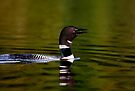 Call of a Loon by Jim Cumming