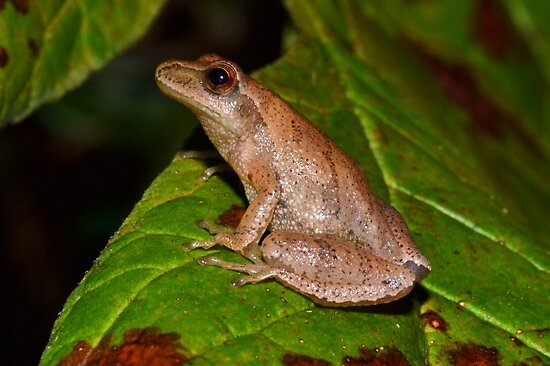 Spring Peeper Posing by William Brennan